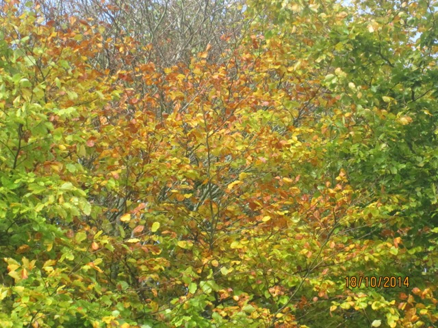 autumn colours in the Copse