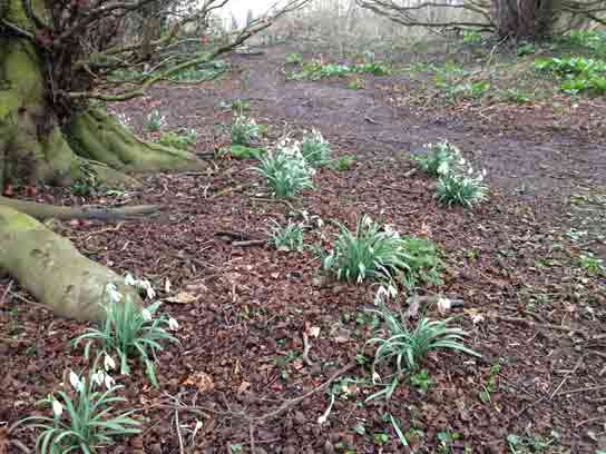 Snowdrops at the Top of the Copse